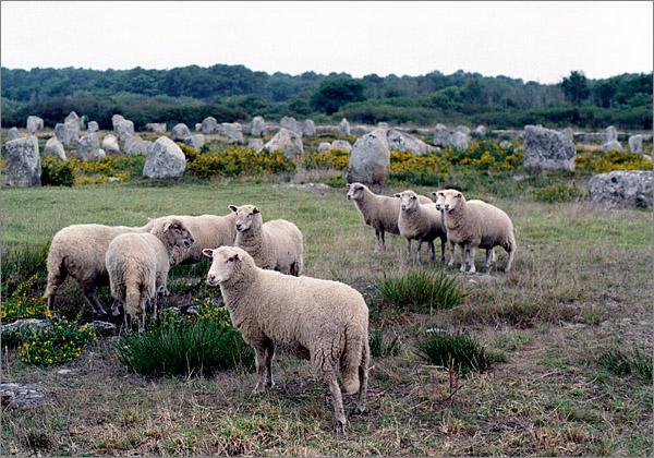 Ovce pokojně se pasoucí mezi menhiry